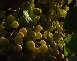Aglianico prior to Veraison.JPG