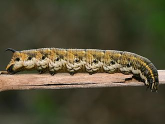 Agrius convolvuli - Image: Agrius convolvuli korseby