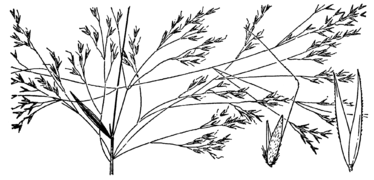 Agrostis avenacea drawing.png