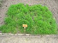 Agrostis capillaris - Berlin Botanical Garden - IMG 8571.JPG