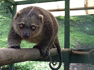 Sulawesi bear cuscus - Image: Ailurops ursinus Naemundung 2 North Sulawesi