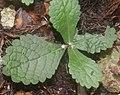 Ajugoides humilis (bud s2).jpg