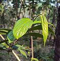 Alangium Salvifolium 16.JPG