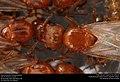 Alate ant queens (Pheidole dentata) (28368983978).jpg
