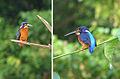 Alcedo meninting, Blue-eared Kingfishers (12644907743).jpg