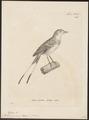 Alectrurus guirayetapa - 1700-1880 - Print - Iconographia Zoologica - Special Collections University of Amsterdam - UBA01 IZ16500239.tif