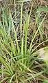 Aletris spicata (leaf s2).jpg