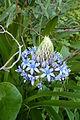 Algarve - Silves - Scilla peruviana, Peruvian scilla, the Portuguese squill (25803203406).jpg