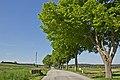 Allee entlang der LH 61 bei Seyfrieds 2014-05 NÖ-Naturdenkmal GD-084.jpg