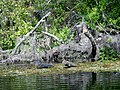 Alligator at Silver Springs - panoramio.jpg