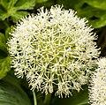 Allium (18819435011).jpg