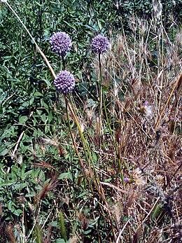 Allium ampeloprasum Habitus DehesaBoyalPuertollano