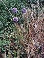 Allium ampeloprasum Habitus DehesaBoyalPuertollano.jpg