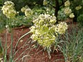 Allium obliquum 2020-06-23 0634.jpg