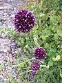 Allium rotundum sl31.jpg