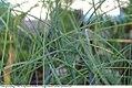 Allium schoenoprasum 4zz.jpg