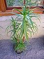 Aloe Kedongensis.jpg