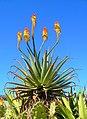 Aloe arborescens 01.JPG