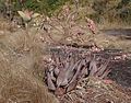 Aloe chabaudii on Mt. Ribaue (9798737036).jpg