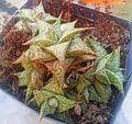 Aloe descoingsii in cultivation - Cape Town.jpg