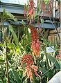 Aloe elgonica Inflorescences BotGardBln0906a.jpg