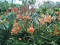 Aloe hybrid flower bed overview, Brisbane, Australia - panoramio.jpg