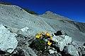 Alpine Blumenpracht am Ortler.jpg