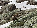 Alpine Ibex (Bouquetin) @ Lacs Noirs @ Hike to Lacs des Chéserys, Lac Blanc, Lac Cornu & Lacs Noirs @ Chamonix (15174526720).jpg