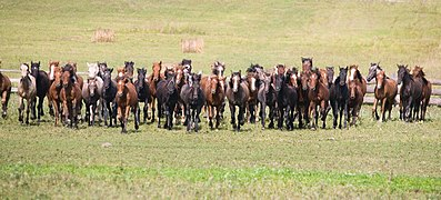 Altai horses 03.jpg