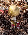 Amanita muscaria var. guessowii - Beech Forest, Cape Cod National Seashore - 2014-10-05 - image 2.jpg