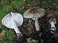 Amanita submaculata Peck 342561.jpg