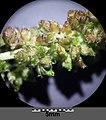 Amaranthus viridis sl31.jpg