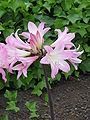 Amaryllis belladonna2.jpg