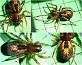 Amaurobius fenestralis female (5410607035).jpg