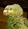 Amazona amazonica (Lora cariamarilla) (15005886109).jpg