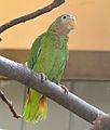Amazona collaria -Vienna Zoo, Schonbrunn Palace, Vienna, Austria-8a (2).jpg