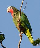 A green parrot with a pink throat and cheeks, a white face and forehead, and blue-tipped wings