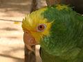 Amazona oratrix -captive -upper body-8b.jpg