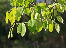 Amelanchier arborea leaves.JPG