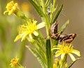 Ameles spallanzania - European Dwarf Mantis (4005997862).jpg