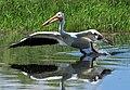 American White Pelican on Seedskadee National Wildlife Refuge (27905632266).jpg