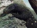 Amneville Varanus salvadorii 27082010 1.jpg