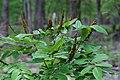 Amorpha nitens (2).jpg