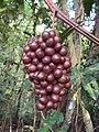 Ampelocissus latifolia 02.JPG