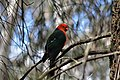 An Australian King Parrot.jpg
