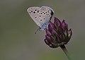 Anatolian Odd-spot Blue - Turanana endymion 01.jpg