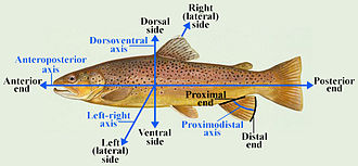 Anatomical terms of location - Anatomical directions and defined axes in a fish