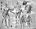 Anatomical sketches after Valverde; muscles. Wellcome L0011864.jpg
