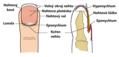 Anatomie konce prstu.png