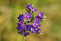 Anchusa officinalis - harilik imikas Keila.jpg